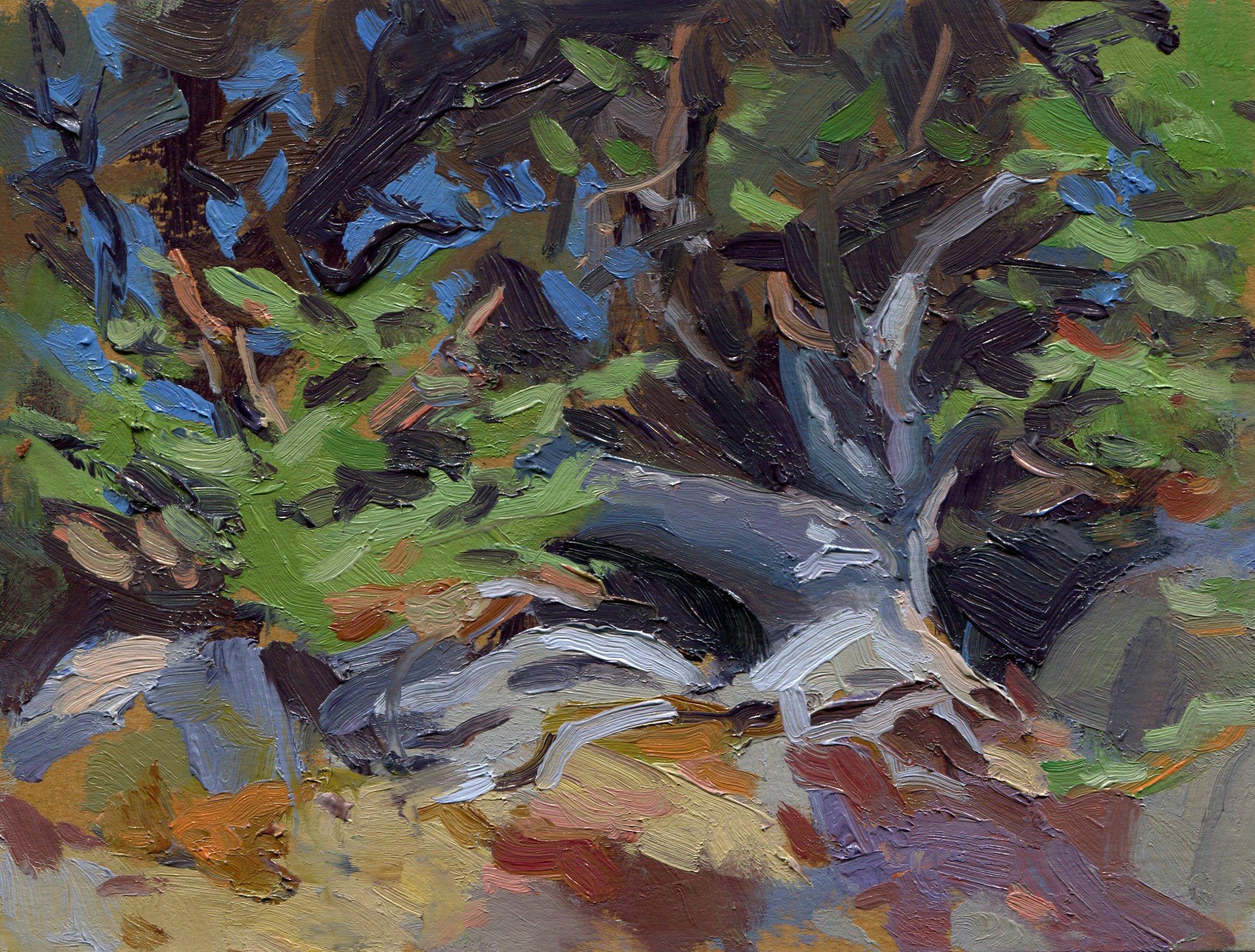 Monterey Cypress Study